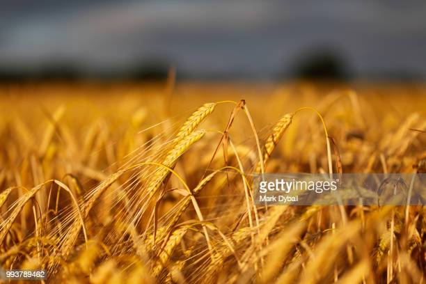 barley field in evening light - mark dyball stock photos and pictures