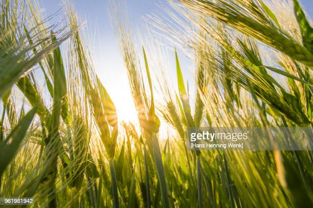 barley field in spring - barley stock pictures, royalty-free photos & images
