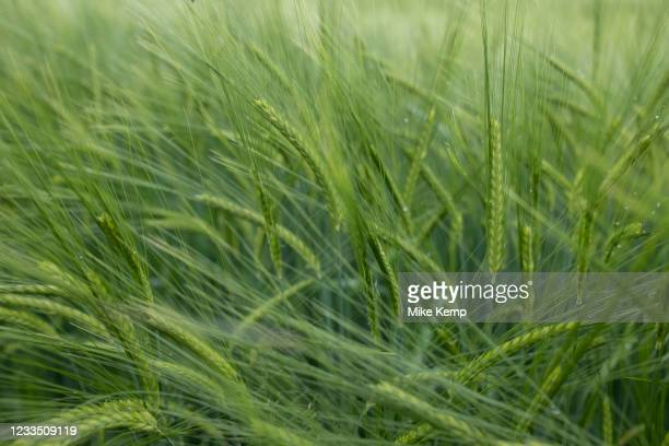 Barley field on agricultural farmland in Shropshire on 6th June 2021 in Ludlow, United Kingdom. Barley, a member of the grass family, is a major...