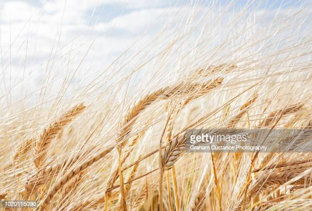 barley field - barley stock pictures, royalty-free photos & images