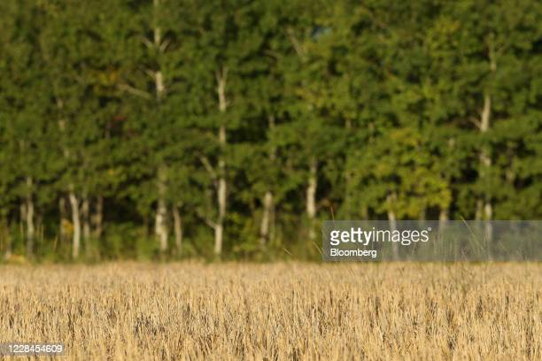 Barley grows in a field in front of a stand of poplar trees on a farm near Hodgson Manitoba Canada on Thursday Sept 10 2020 A recentcrop tourpegged...