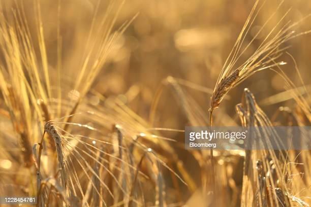 Barley grows on a farm near Hodgson Manitoba Canada on Thursday Sept 10 2020 A recentcrop tourpegged Canada's harvest at an alltime high and the...