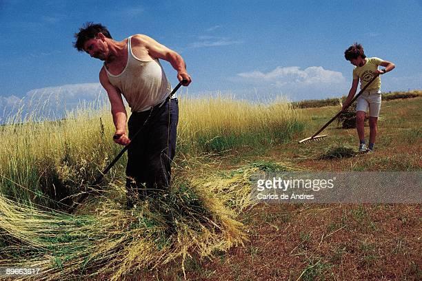 Barley Harvest A farmer cuts the barley with a scythe while his son rakes the field