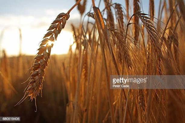 barley in field - barley stock pictures, royalty-free photos & images