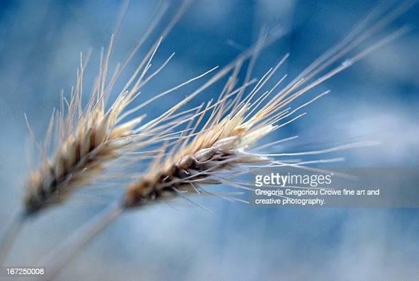 barley - gregoria gregoriou crowe fine art and creative photography stockfoto's en -beelden
