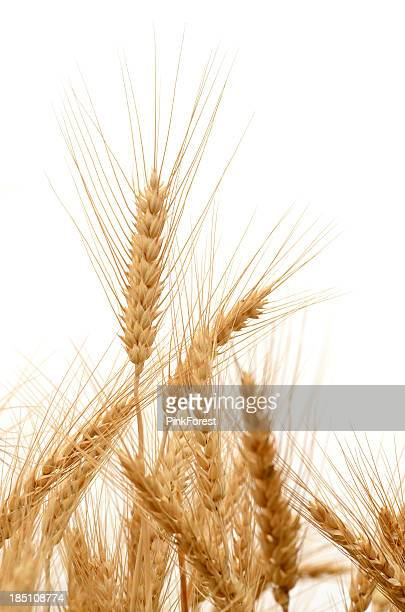 barley - barley stock pictures, royalty-free photos & images
