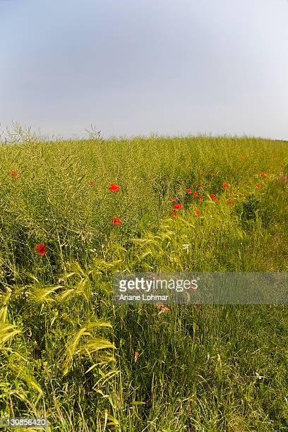 Barley (Hordeum vulgare), Poppies (Papaver)