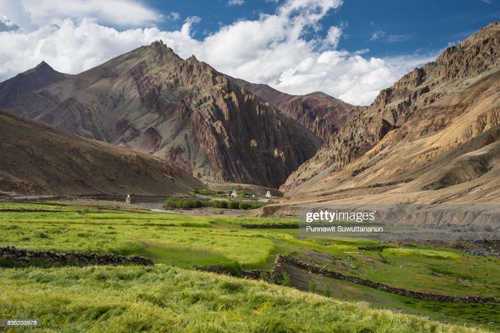 Barley rice field in summer and himalaya moountain, Leh, Ladakh,india : Stock Photo