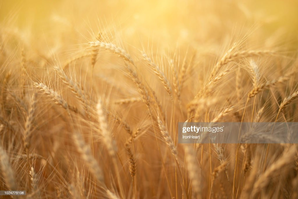 Barley rice paddy field. : Stock Photo