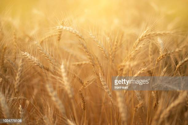 barley rice paddy field. - wheat grain stock photos and pictures