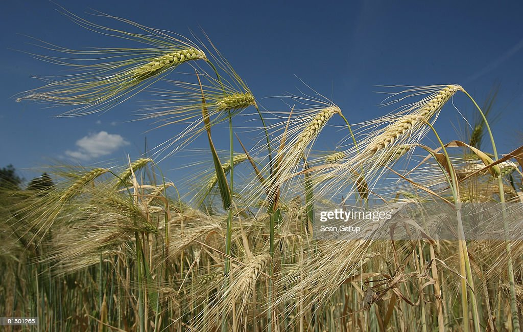 Barley : News Photo