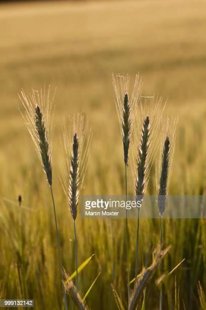 Barley (Hordeum vulgare), Upper Bavaria, Bavaria, Germany, PublicGround