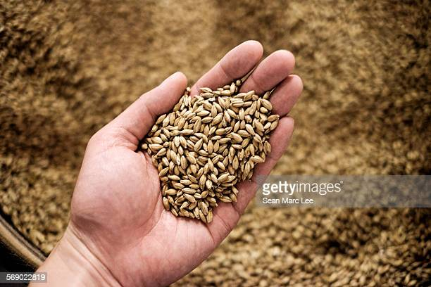 Barley used in whiskey Distillation