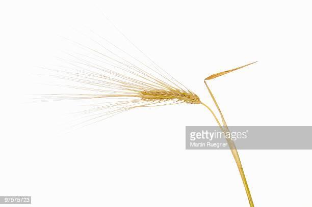 Barley (Hordeum vulgare), white background.