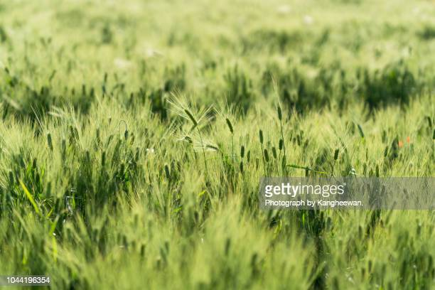 barley with field poppy - bucheon stock pictures, royalty-free photos & images