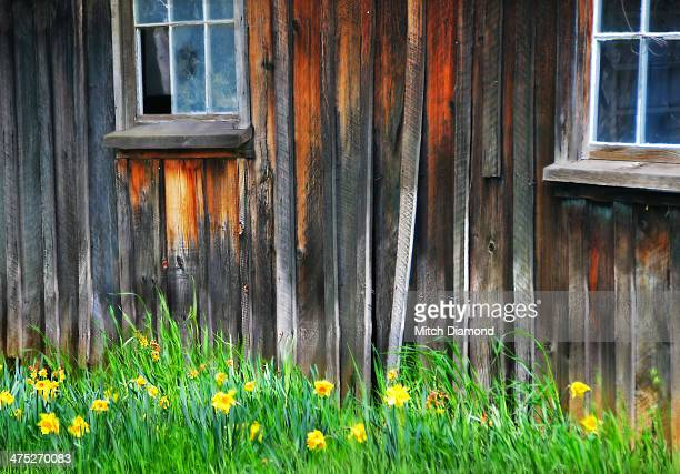 Barn and daffodils