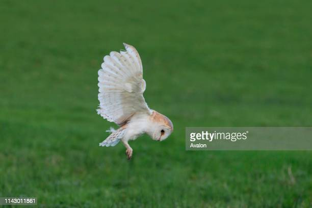 Barn Owl adult flying hovering above prey in grassland Cumbria England October controlled subject