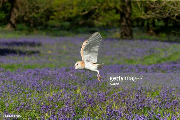 Barn Owl adult flying over Bluebell flowers Suffolk England May controlled subject