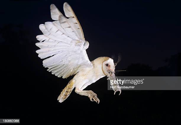 barn owl (tyto alba), adult in flight with mouse, willacy county, rio grande valley, texas, usa - time to hunt stock pictures, royalty-free photos & images