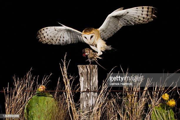 barn owl (tyto alba), adult landing on fence post with mouse prey, rio grande valley, texas, usa - time to hunt stock pictures, royalty-free photos & images
