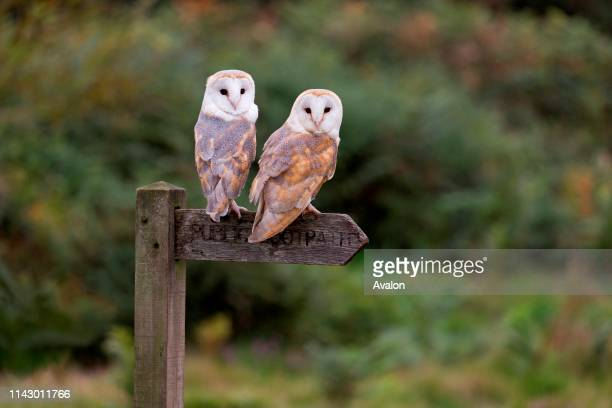 Barn Owl adult pair perched on footpath sign Suffolk England September controlled subject