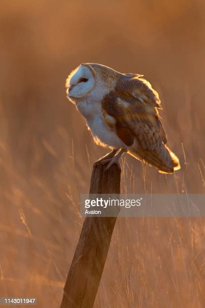 Barn Owl adult perched on post in grassland rim lit at sunset Suffolk England November controlled subject