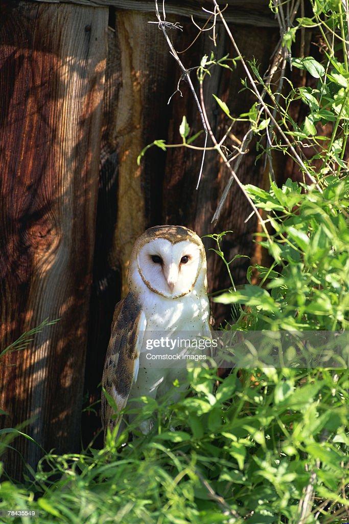Barn owl and foliage : Stockfoto