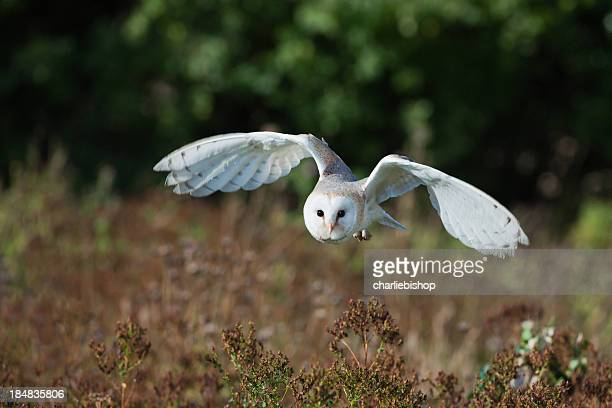 barn owl at dusk hunting for prey. - barn owl stock pictures, royalty-free photos & images