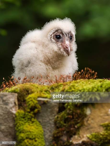 A barn owl chick. Tyto alba.