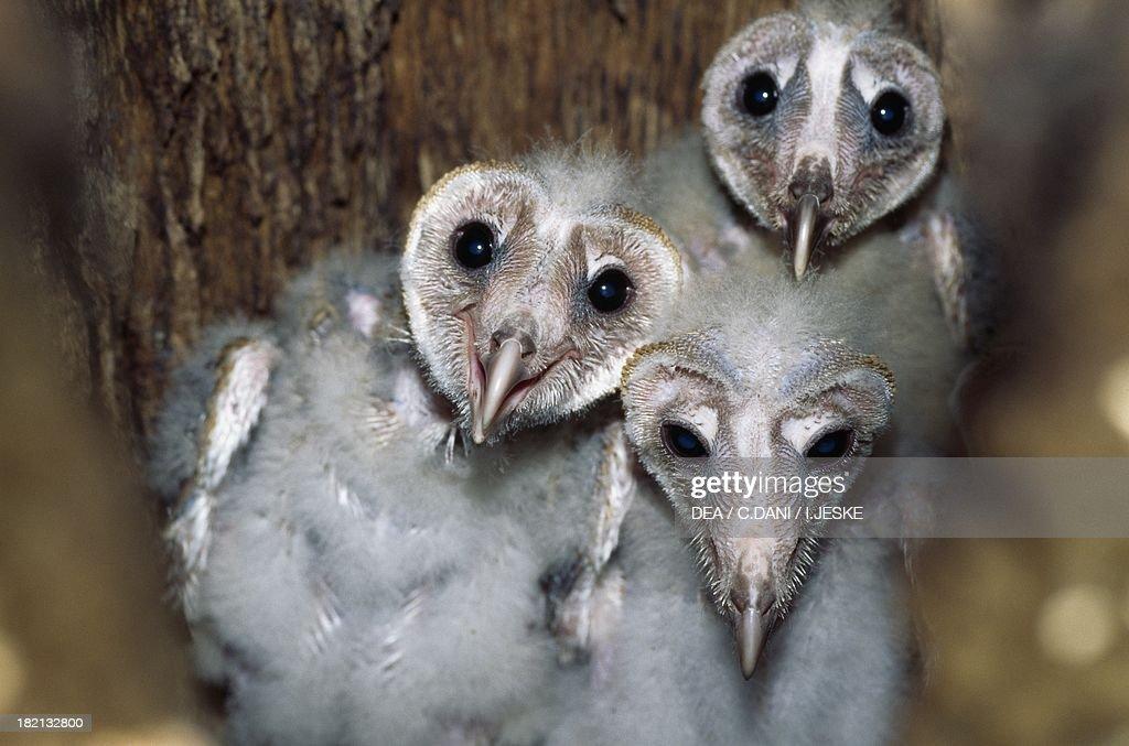 Barn Owl chicks... : News Photo