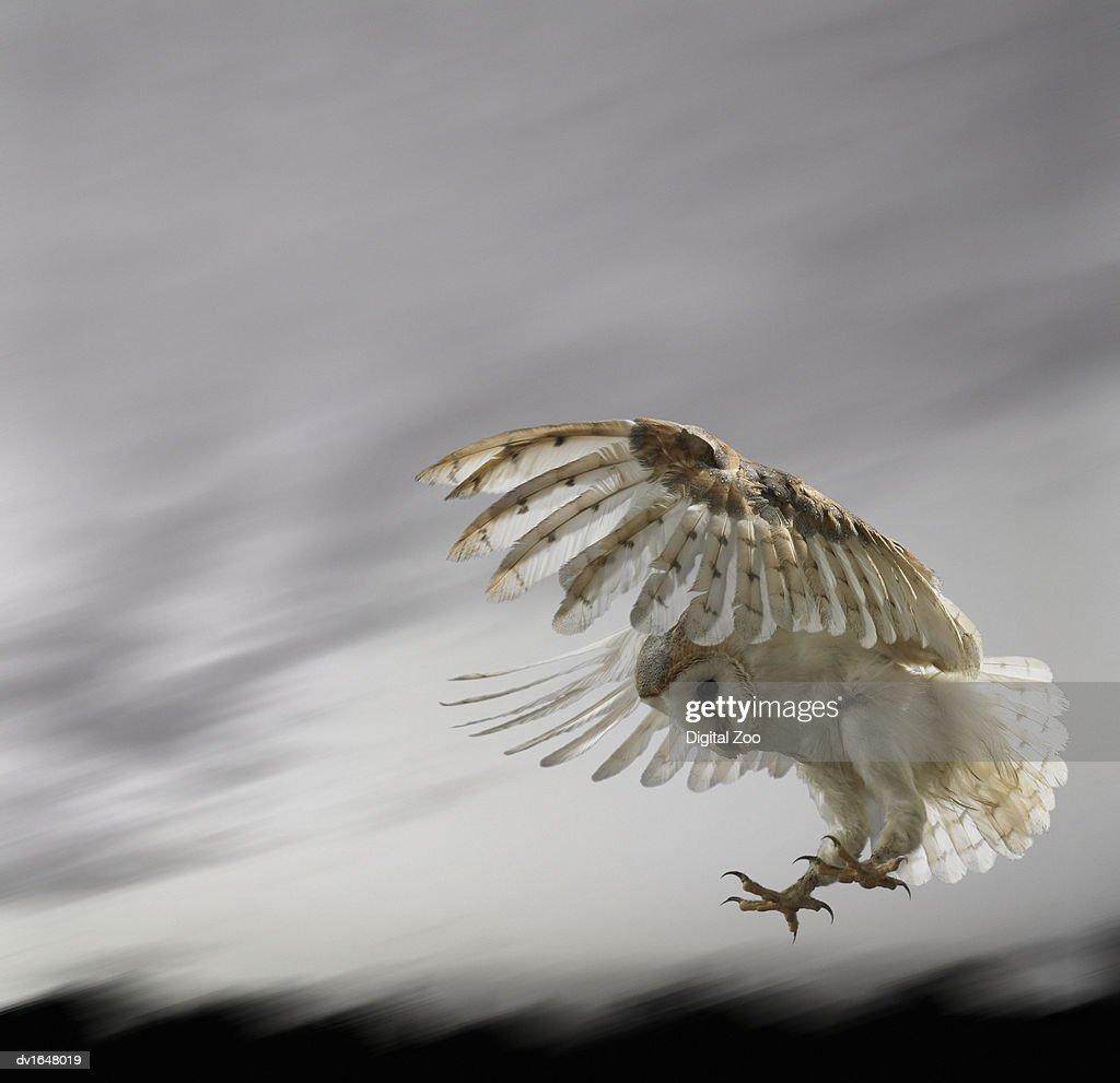 Barn Owl Flying Against and Overcast Sky : Stock Photo