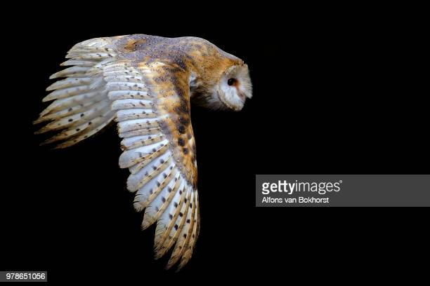 barn owl (tyto alba) flying against black background - zoology stock pictures, royalty-free photos & images