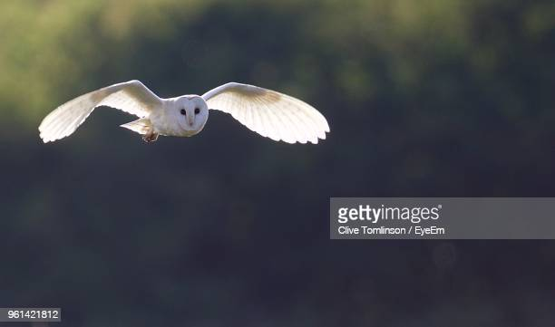 Barn Owl Flying Against Trees