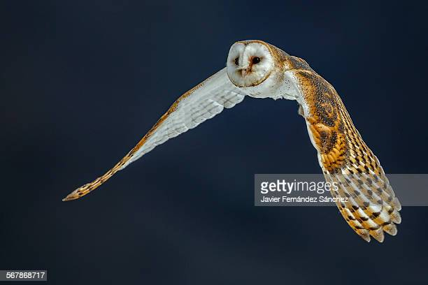 Barn owl flying, Tyto alba