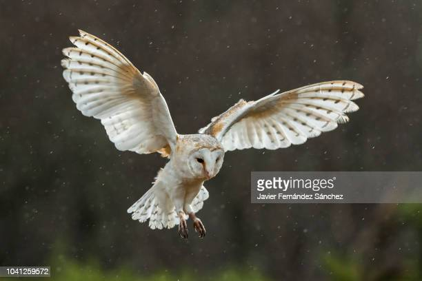 a barn owl flying with open wings about to land. tyto alba. - barn owl stock pictures, royalty-free photos & images