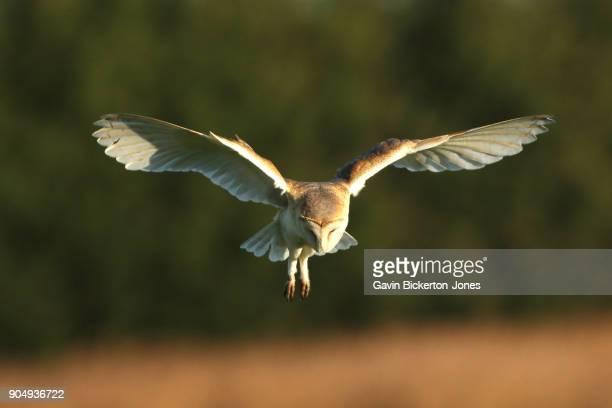 Barn Owl Hovering.