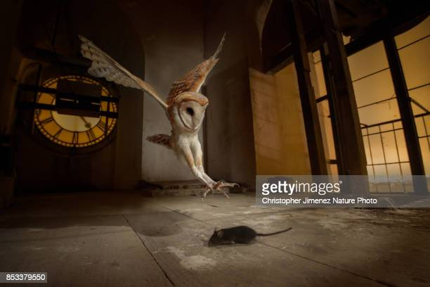 Barn Owl (Tyto alba) hunting a mouse in a church bell tower