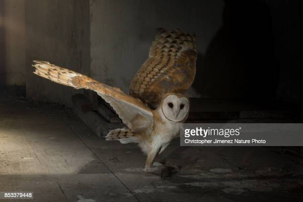 Barn Owl (Tyto alba) hunting at church bell tower extending its wings
