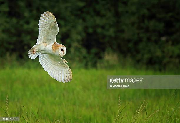 barn owl hunting at dusk - barn owl stock pictures, royalty-free photos & images