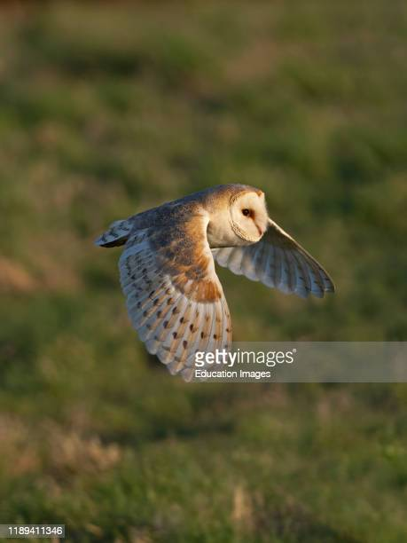Barn Owl hunts over a meadow in warm spring like weather Holt North Norfolk UK