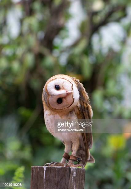 Barn Owl in doubt action