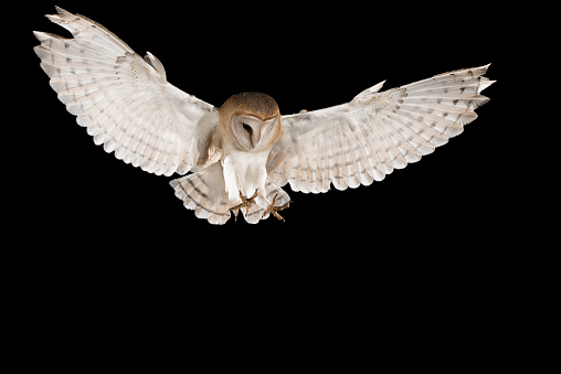 Barn Owl, in flight of perching on a trunk with open wings, black background, Tyto alba 954707958