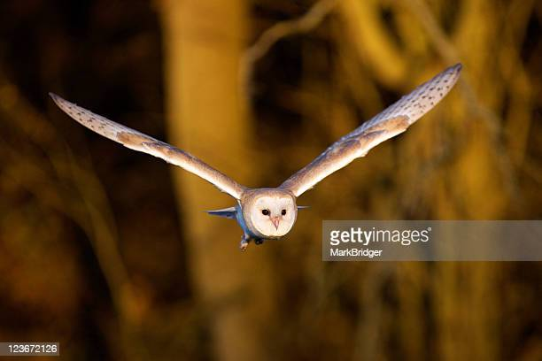 barn owl in flight - barn owl stock pictures, royalty-free photos & images