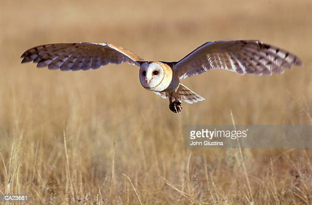 barn owl (tyto alba) in flight - barn owl stock pictures, royalty-free photos & images