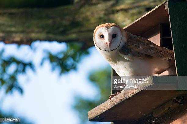 barn owl (young) in nest box (wild)  - young bird stock pictures, royalty-free photos & images