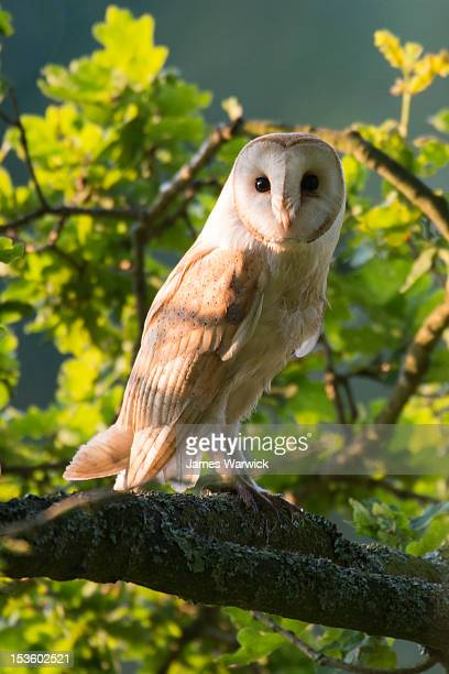 barn owl in oak tree (wild)  - barn owl stock pictures, royalty-free photos & images