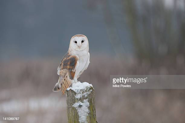 barn owl in snow norfolk uk - barn owl stock pictures, royalty-free photos & images