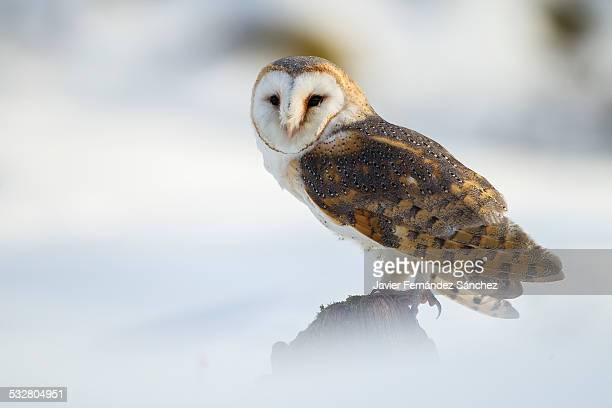 barn owl in snow - barn owl stock pictures, royalty-free photos & images