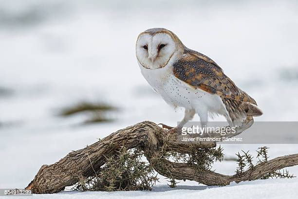 barn owl in snow. tyto alba - barn owl stock pictures, royalty-free photos & images