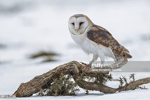 Barn owl in snow. Tyto alba